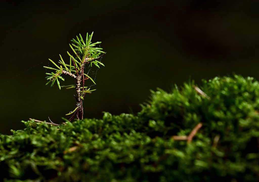 New growth sapling
